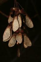 Photographie n°bb035905 du taxon