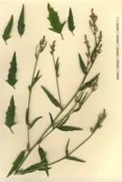 Photographie n°bb041167 du taxon