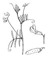 Photographie n°1016 du taxon