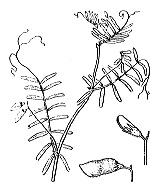 Photographie n°1019 du taxon
