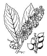 Photographie n°1096 du taxon