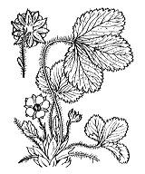 Photographie n°1122 du taxon