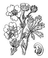 Photographie n°1135 du taxon