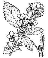 Photographie n°1172 du taxon