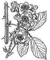 Photographie n°1174 du taxon