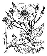 Photographie n°1207 du taxon