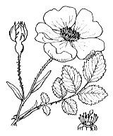Photographie n°1210 du taxon