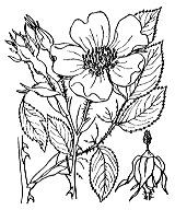 Photographie n°1211 du taxon