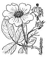 Photographie n°1212 du taxon