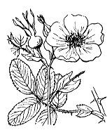 Photographie n°1215 du taxon