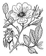 Photographie n°1219 du taxon
