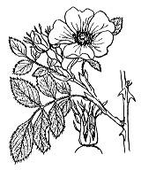 Photographie n°1220 du taxon