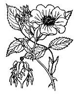 Photographie n°1233 du taxon