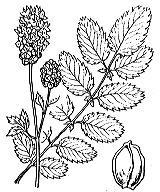 Photographie n°1239 du taxon