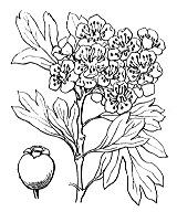 Photographie n°1253 du taxon