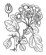 Photographie n°1255 du taxon