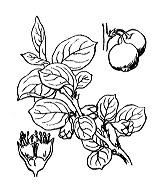 Photographie n°1257 du taxon