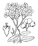 Photographie n°1267 du taxon