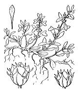 Photographie n°1323 du taxon