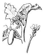 Photographie n°1325 du taxon