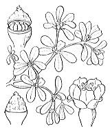 Photographie n°1326 du taxon