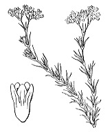 Photographie n°1350 du taxon
