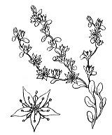 Photographie n°1356 du taxon