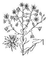 Photographie n°1364 du taxon