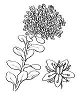 Photographie n°1368 du taxon