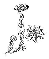 Photographie n°1378 du taxon