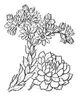 Photographie n°1391 du taxon