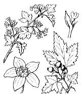 Photographie n°1401 du taxon