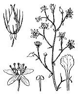 Photographie n°1410 du taxon