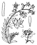 Photographie n°1432 du taxon