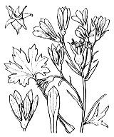 Photographie n°1437 du taxon