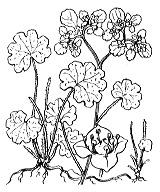 Photographie n°1453 du taxon
