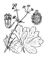 Photographie n°1458 du taxon
