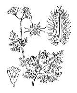 Photographie n°1478 du taxon