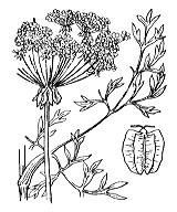 Photographie n°1493 du taxon