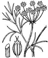 Photographie n°1568 du taxon
