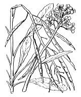 Photographie n°162 du taxon