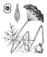 Photographie n°1624 du taxon