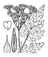 Photographie n°1630 du taxon