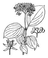 Photographie n°1643 du taxon