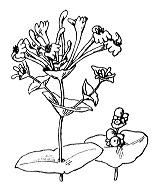 Photographie n°1652 du taxon