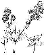 Photographie n°1666 du taxon