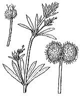 Photographie n°1673 du taxon