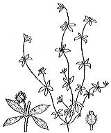 Photographie n°1681 du taxon