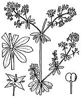 Photographie n°1689 du taxon