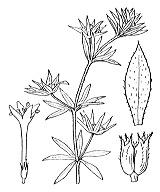 Photographie n°1718 du taxon